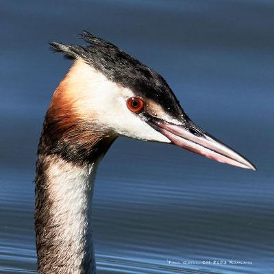 Haubentaucher Portrait - Great Crested Grebe - Podiceps cristatus - #2230
