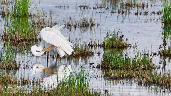Silberreiher - Great Egret - #5057