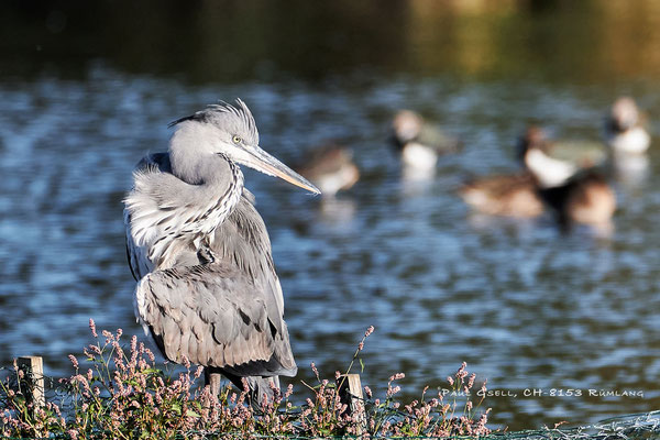 Graureiher im Neeracherried - Grey heron - #2886