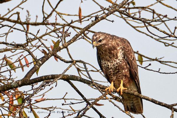 Mäusebussard - Common buzzard - #4083