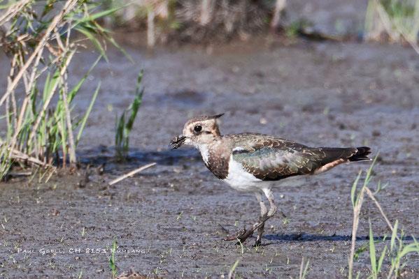Kiebitz - Lapwing - Vanellus vanellus - #2631