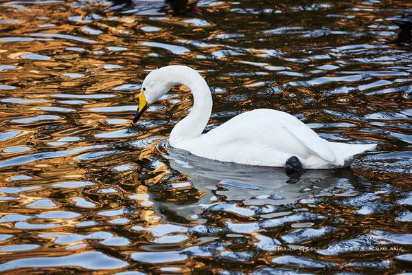 Singschwan - Cygnus cygnus - Natur- und Tierpark Goldau - #6006