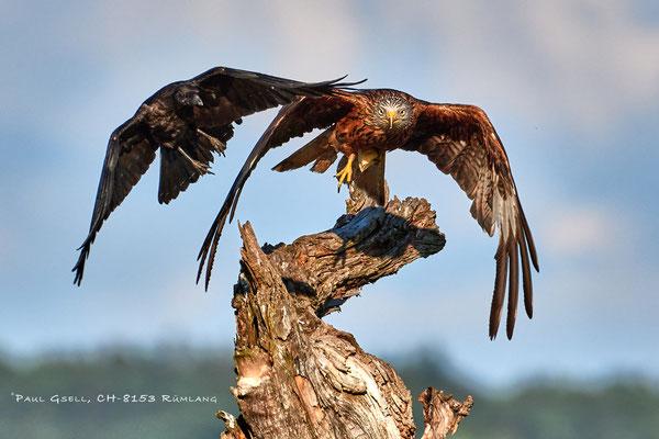 Krähe attackiert Rotmilan - Red Kite - #0412