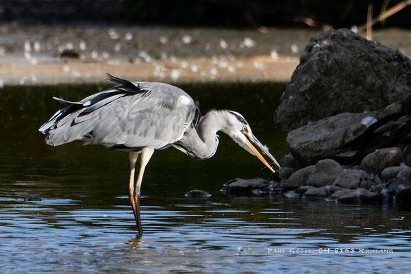 Graureiher - Fischreiher - Grey heron - #2587