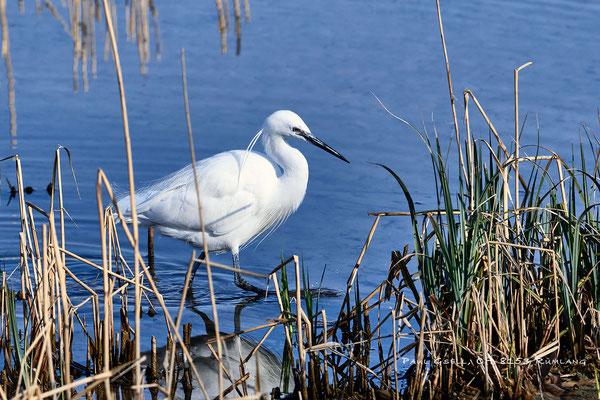 Seidenreiher im Prachtkleid - Little Egret - #9719