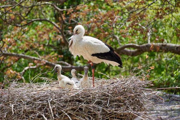 Frei lebender Weissstorch mit 3 Jungvögeln - Zoo Zürich - #0743