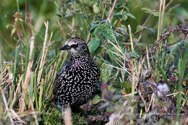 Star - Common starling - #4341