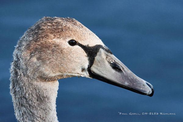 Höckerschwan im Jugendkleid - Young Mute Swan - #6080
