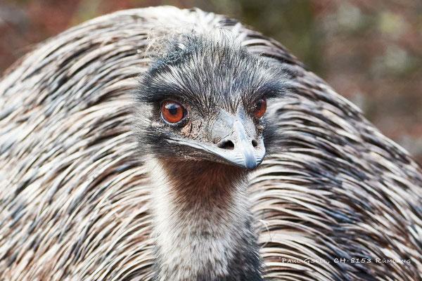 Grosser Emu - Emu - Zoo Zürich - #8644