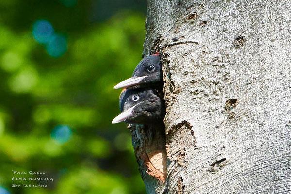 Junge Schwarzspechte - Young Black Woodpeckers - #2564