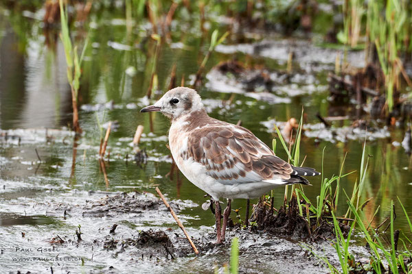 Junge Lachmöwe - Young black-headed gull - #2935