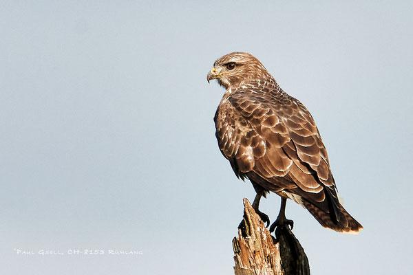 Mäusebussard - Common buzzard - #4874