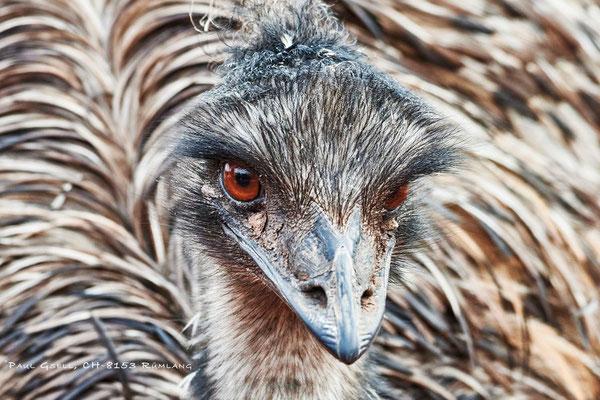 Grosser Emu - Emu - Zoo Zürich - #8625