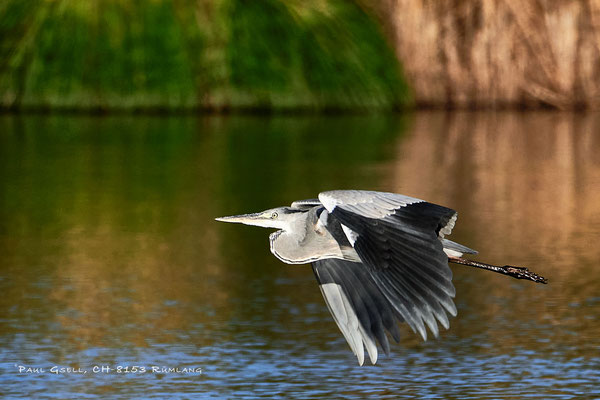 Fliegender Graureiher - Grey heron in flight - #2994