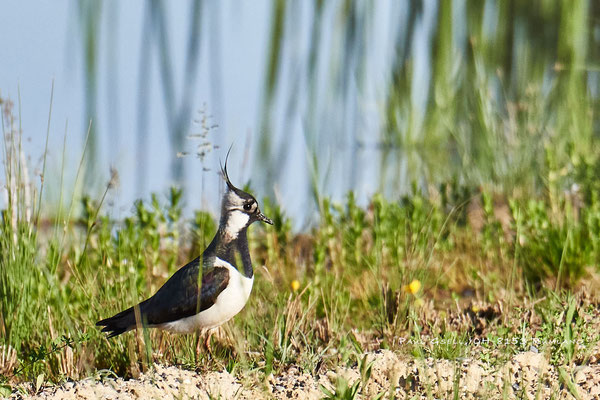 Kiebitz - Lapwing - Vanellus vanellus - #9537
