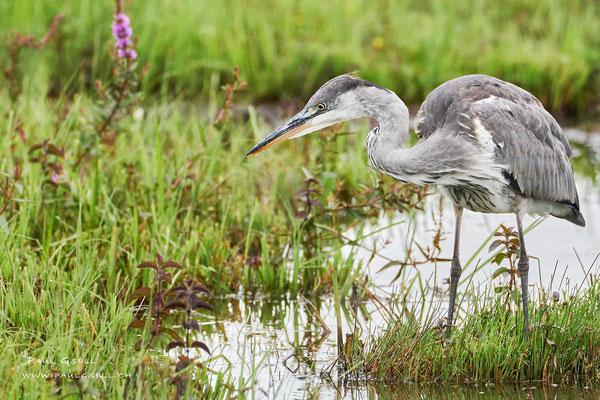 Graureiher - Grey Heron - #3904