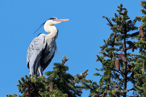 Graureiher im Horst auf einer Fichte - Grey heron on a spruce - #1532