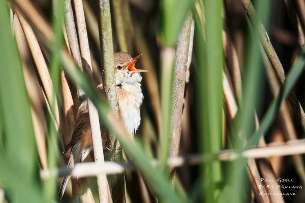 Teichrohrsänger - European Reed Warbler - #2652