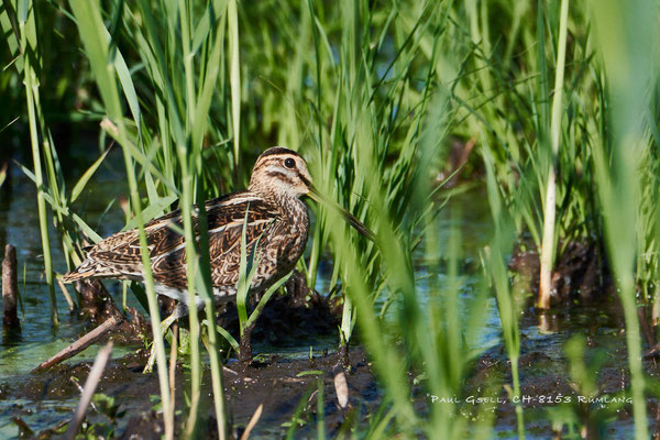 Bekassine - Common snipe  (Gallinago gallinago) - #0903