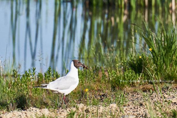 Lachmöwe - Black-headed Gull - Chroicocephalus ridibundus - #9590