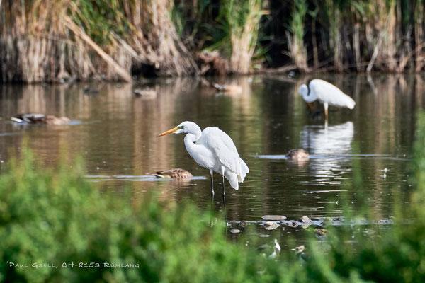 Silberreiher im Neeracherried - Great white egrets - #4012
