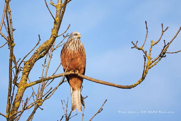 Rotmilan (Milvus milvus) - Red Kite - #4511