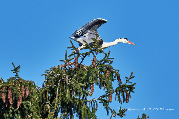 Graureiher startet von ganz oben - Grey heron starting from the top of a spruce - #1502
