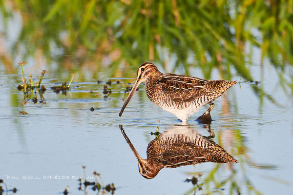 Bekassine - Common Snipe (Gallinago gallinago) - #4433