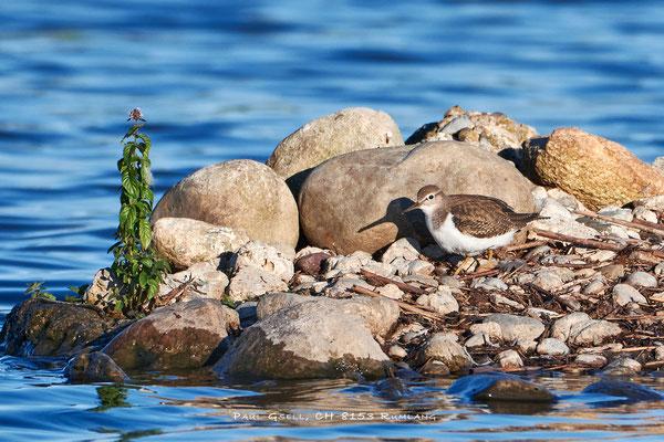 Flussuferläufer - Common Sandpiper (Actitis hypoleucos) - #1025