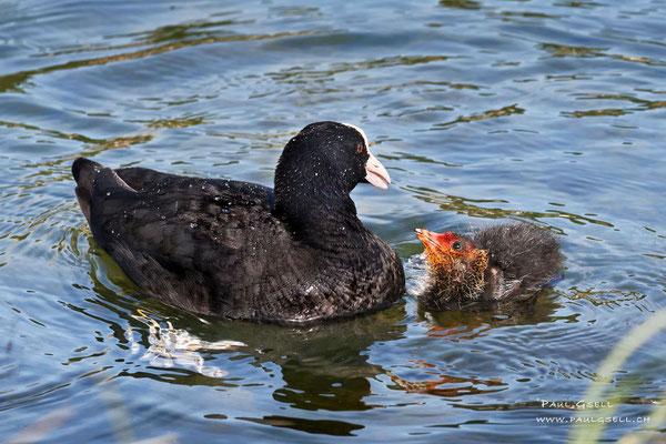 Blässhuhn mit Küken - Coot with fledgling - #3305