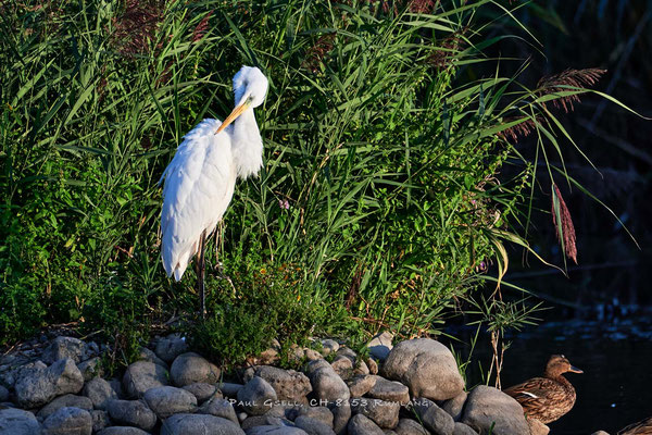 Silberreiher in der Abendsonne im Neeracherried - Great white egret - #3004