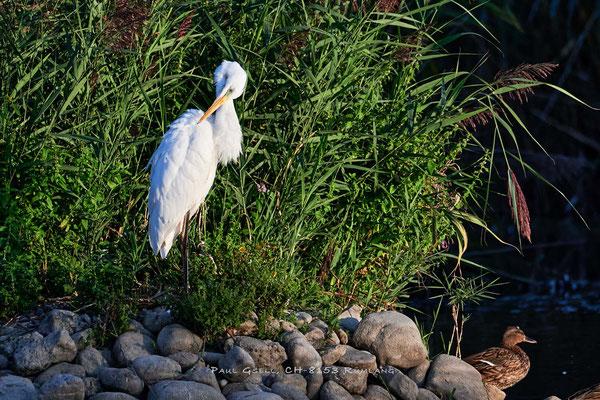 Silberreiher in der Abendsonne im Neeracherried - Great white egret - #3004