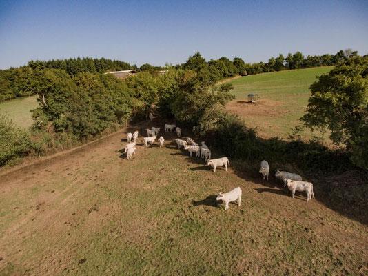 Vache de race Charolaise et haies © Alain Buchet - DSNE