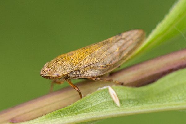 schuimcicade