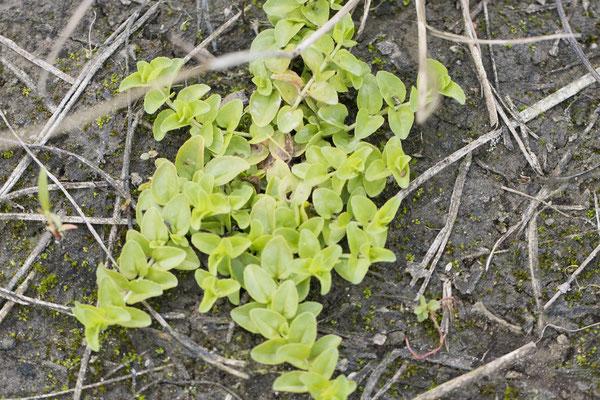 Tijmereprijs Onzeker  Veronica serpyllifolia