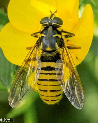 Echte wespvlieg Temnostoma vespiforme