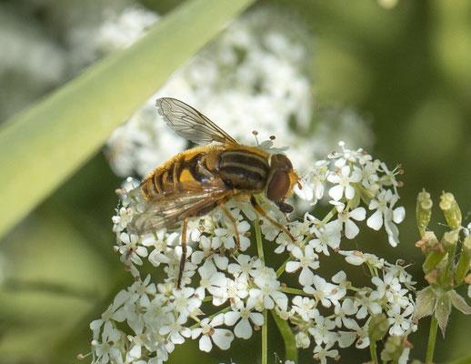 Fluweelzweefvlieg    Parhelophilus spec.