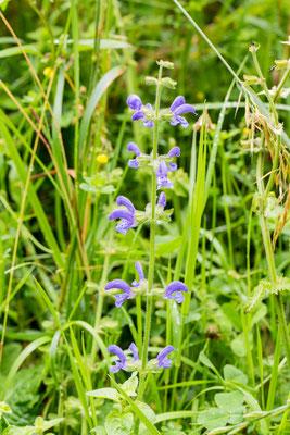 Veldsalie Salvia pratensis