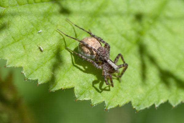 Wolfspin   Pardosa spec.