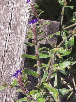 Gewone ossentong    Anchusa officinalis