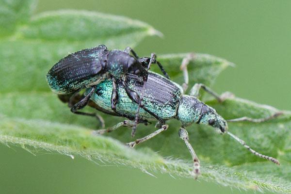Groene bladsnuitkever  Phyllobius pomaceus