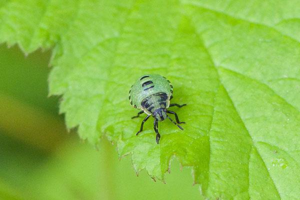 Groene schildwants   Palomena prasina