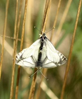Groot geaderd witje Aporia crataegi