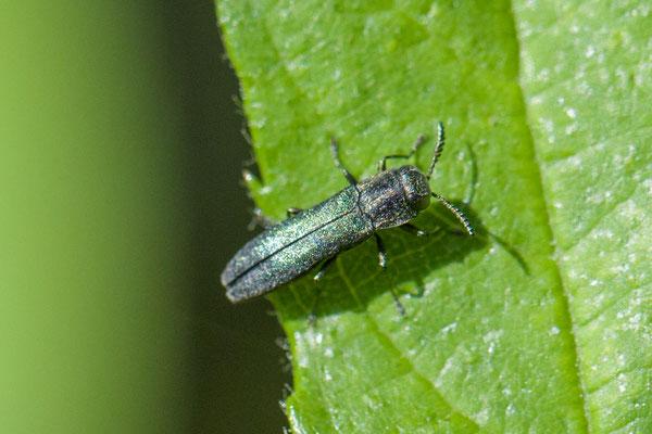 Groen smalbuikje  Agrilus viridis