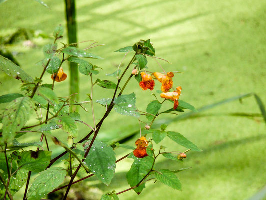 Oranje springzaad Impatiens capensis