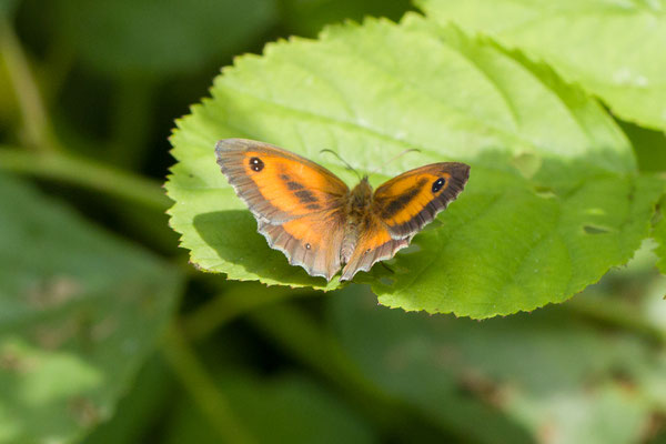 Oranje zandoogje goedgekeurd op basis van kennisregels of beeldherkenning  Pyronia tithonus