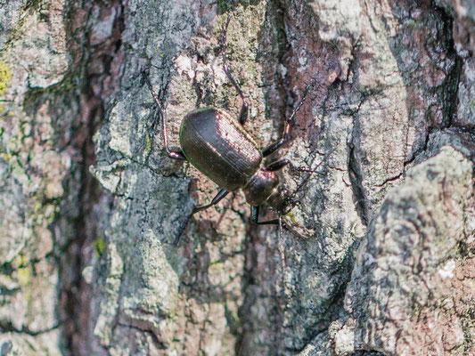 Kleine Poppenrover Calosoma inquisitor