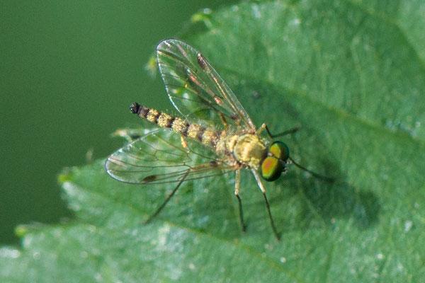 Geelpootschubsnipvlieg   Chrysopilus asiliformis