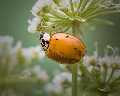 Veelstippig Aziatisch lieveheersbeestje Harmonia axyridis f. succinea