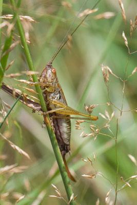 Gewoon Spitskopje  Conocephalus dorsalis